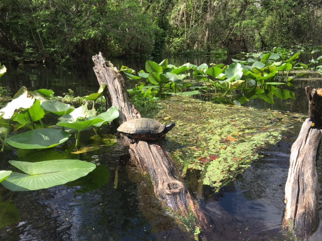 wekiwa-turtle