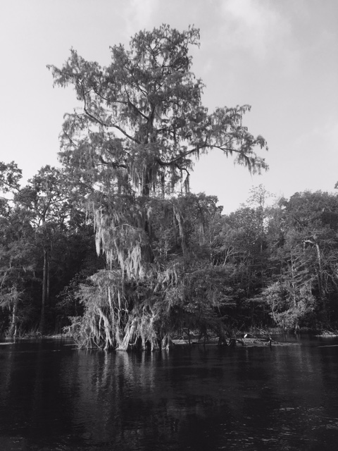 wakulla tree and egret